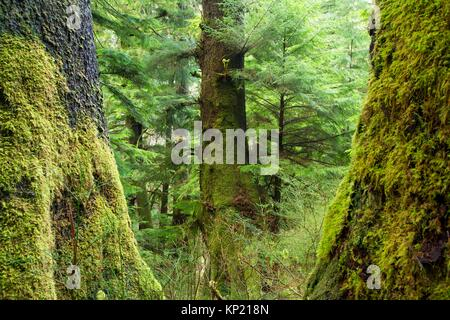 Ancient sitka spruce trunks along Harts Cove Trail, Neskowin Crest Research Natural Area, Siuslaw National Forest, - Stock Photo