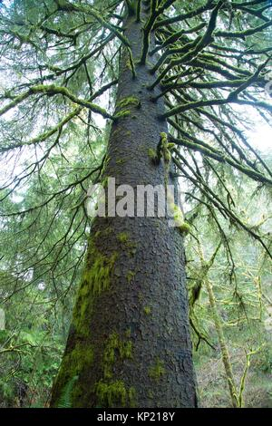 Ancient sitka spruce along Harts Cove Trail, Neskowin Crest Research Natural Area, Siuslaw National Forest, Oregon. - Stock Photo