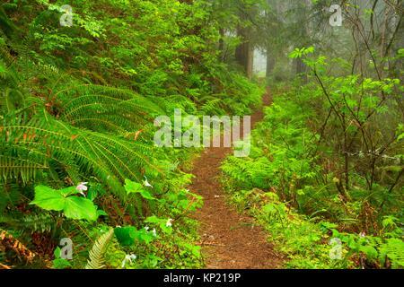 Harris Ranch Trail, Drift Creek Wilderness, Siuslaw National Forest, Oregon. - Stock Photo