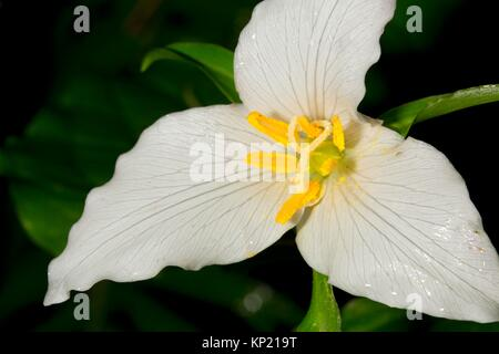 Western trillium in bloom along Harris Ranch Trail, Siuslaw National Forest, Oregon. - Stock Photo