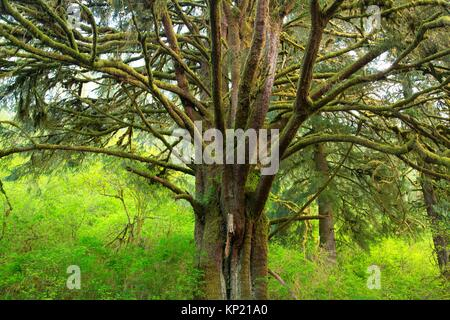 Sitka spruce (Picea sitchensis), Lincoln County, Oregon. - Stock Photo