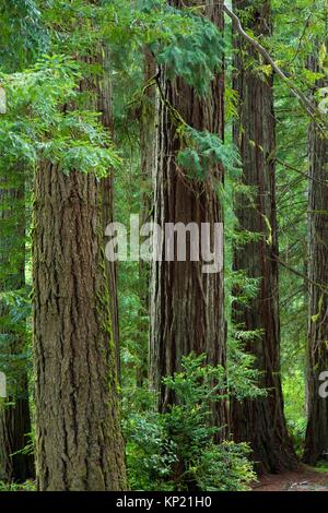 Coast redwood (Sequoia sempervirens) forest, Jedediah Smith Redwoods State Park, Redwood National Park, California.
