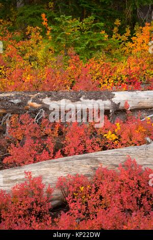 Autumn huckleberry and blueberry along Monon Lake Trail, Ollalie Lake Scenic Area, Mt Hood National Forest, Oregon. - Stock Photo