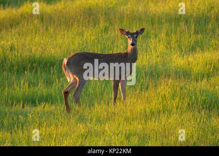 White-tailed deer (Odocoileus virginianus), Kootenai National Wildlife Refuge, Idaho.