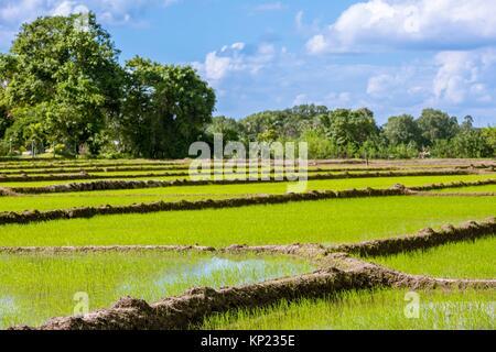 Paddy fields at Polonnaruwa, North Central Province, Sri Lanka, Asia. - Stock Photo