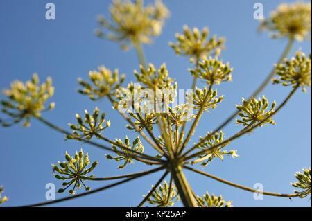 umbel of apiaceae, France, Europe. - Stock Photo