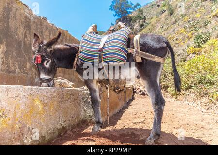 Donkey drinking water from a drinking trough in Roque Negro municipality. Santa Cruz de Tenerife - Stock Photo