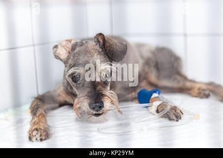 dog at the vet´s undergoing a medical treatment - Stock Photo