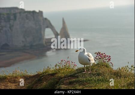 great black-backed gull with, in the background, chalk cliffs with arch and ´´l´Aiguille´´ (the Needle), Etretat, - Stock Photo