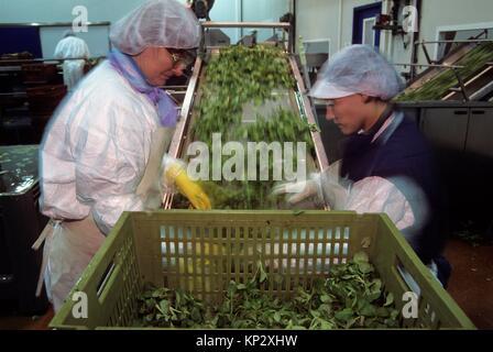 tri apres la recolte, agriculture maraichere de mache (Valerianella locusta), region de Nantes, departement de Loire - Stock Photo