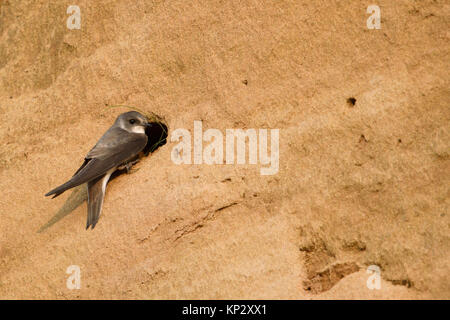 Sand Martin / Bank Swallow ( Riparia riparia ) perched in front of its nest hole, carrying nesting material in its - Stock Photo