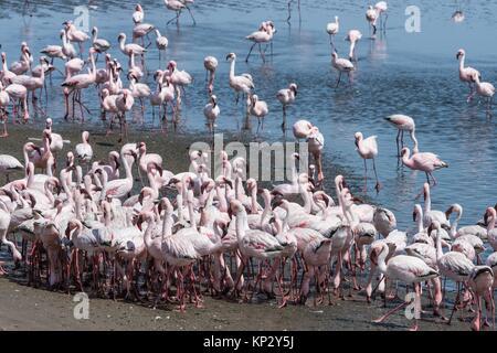 Lesser Flamingos (Phoenicopterus minor) (Phoenicopterus ruber) eating. Valvis bay. Namibia. Africa. - Stock Photo
