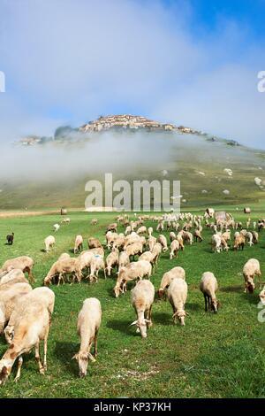 Sheep on the Piano Grande, Gret Plain, of Castelluccio di Norcia, Parco Nazionale dei Monti Sibillini , Apennine - Stock Photo