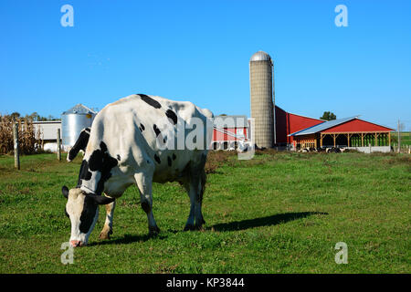Black and white cow standing eating green grass on an Amish farm with a red barn and silo in Pennsylvania Dutch - Stock Photo
