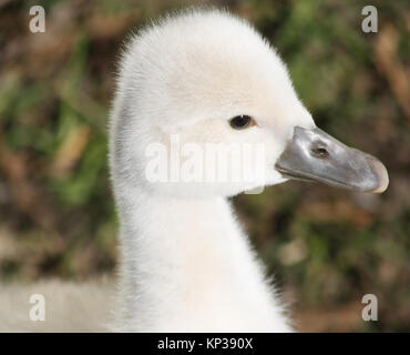 Soft and fluffy baby Mute Swan.  This tiny Cygnet is less than one week old - Stock Photo