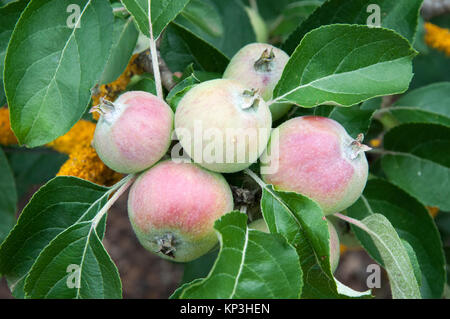 Apple tree bearing fruit at Lambley Gardens and Nursery, Ascot via Ballarat, Victoria - Stock Photo