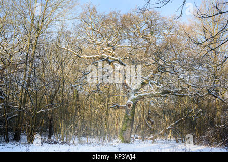 Corby, UK. 12th Dec, 2017. Oak tree in the Kingswood at Corby, England, on a cold, sunny winter day. Credit: Michael - Stock Photo