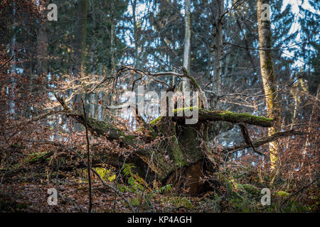 Tree root of a fallen old tree in the forest - Stock Photo