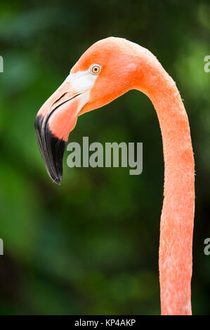 head shot of flamingo - Stock Photo