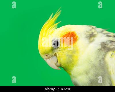 northern cardinal bird face - Stock Photo