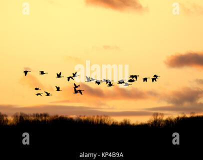 Canadian Geese fly into the sunset in Lancaster County,Pennsylvania,USA. - Stock Photo