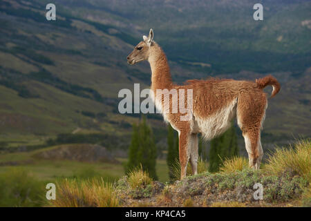 Guanaco (Lama guanicoe) standing on a hillside in Valle Chacabuco, northern Patagonia, Chile. - Stock Photo