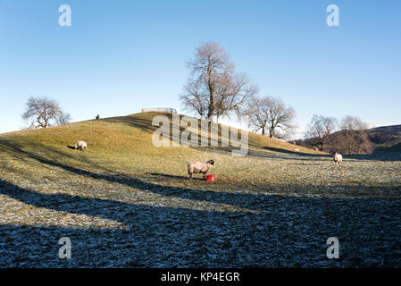 Swaledale sheep grazing on a Winter's day at Aysgarth, Wensleydale, Yorkshire Dales National Park, UK - Stock Photo