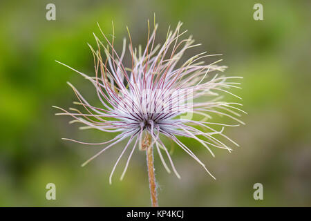 Fruiting plant / seedhead of Alpine pasqueflower / Alpine anemone (Pulsatilla alpina) native to the mountain ranges - Stock Photo