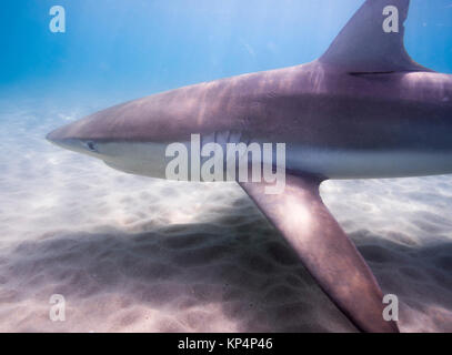 Dusky shark (Carcharhinus obscurus) a species of requiem shark, in the family Carcharhinidae, occurring in tropical - Stock Photo