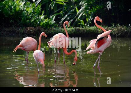American flamingo (Phoenicopterus rubber) in Cali zoo, Colombia, South America. - Stock Photo