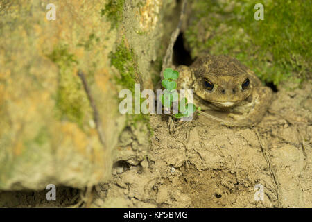 Common toad (Bufo spinosus) - Stock Photo