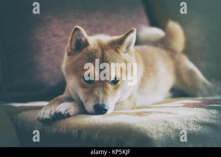 vintage siba inu dog lying on the sofa - Stock Photo
