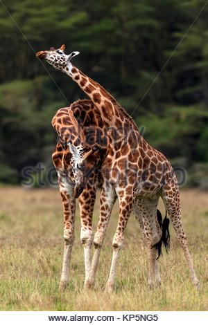 rothschilds giraffes necking. Lake Nakuru National Park,Kenya - Stock Photo