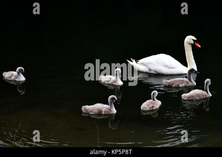 Swan Swimming With Cygnets, Stanway House, Gloucestershire, England. - Stock Photo