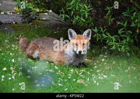 an urban fox lying in a north london garden - Stock Photo