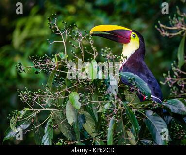 Chestnut Mandibled Toucan Ranphastos swainsonii feeding on green berries from a rainforest tree Sarapiqui Costa - Stock Photo