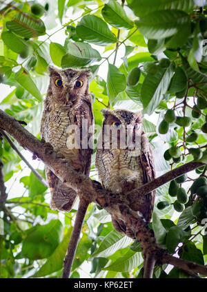 Two Crested Owls Lophostrix cristata peering down from tree branches in the Osa peninsula Costa Rica - Stock Photo