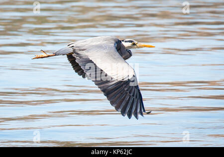Grey heron flying at low level above the sea in South Wales UK - Stock Photo