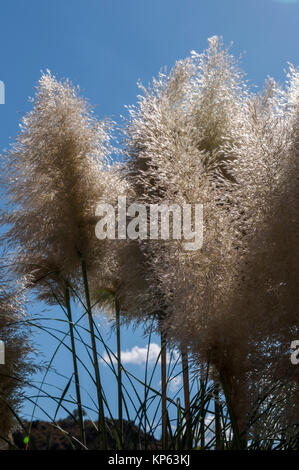 Cortaderia selloana, commonly known as pampas grass: flowering plant native to southern South America whose inflorescences - Stock Photo