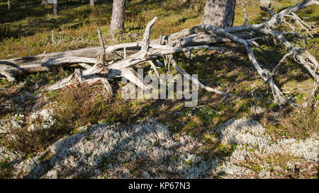 Freakish dry trees in the spring forest - Stock Photo