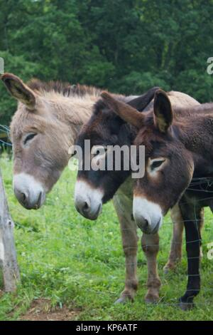 Funny image of a close-up group of three curious donkeys side by side on a farm. - Stock Photo