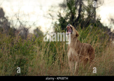 Kruger National Park. Lioness yawning (Panthera leo). South Africa. - Stock Photo