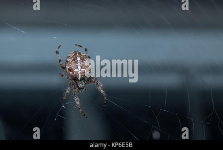 Common garden spider from the UK photographed in the middle of a web. - Stock Photo