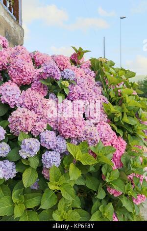 Purple Hydrangeas in bloom summer cluster of flowers. Santander, Cantabria, Spain - Stock Photo