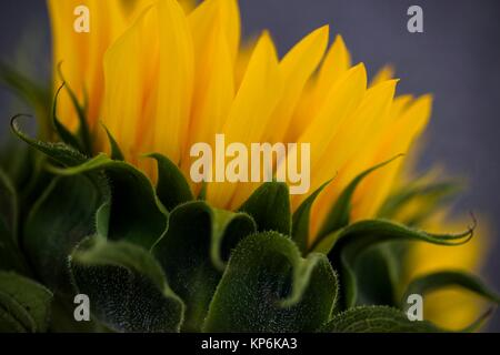 Macro detail of a sunflower (Helianthus annuus). Focus on the petals and sepals. - Stock Photo