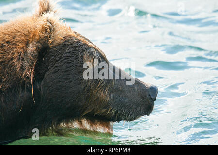 Brown Bear (Ursus arctos) in Kurile Lake, Kamchatka Peninsula, Russia. - Stock Photo