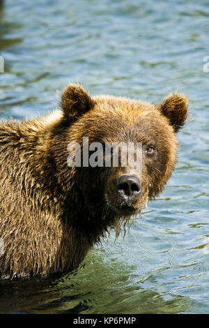 Bear in Kurile lake. Kamchatka. Siberia. Russia - Stock Photo
