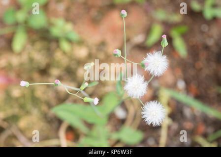 Dandelion-like flowers Cupid's shaving brush or Emilia Sonchifolia - Stock Photo