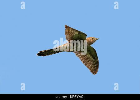Common cuckoo (Cuculus canorus) female in flight against blue sky - Stock Photo