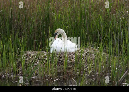 Cygnus Olor, Mute Swan, nest with the male cob bird sitting and looking after it, built on edge of reedbed surrounded - Stock Photo